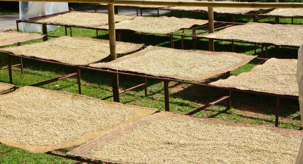 Everything You Need to Know About Drying Coffee Beans